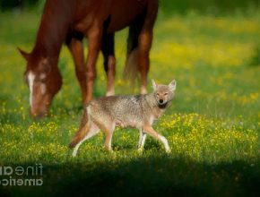 Will horses keep coyotes away?